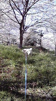 栞とジョニー。-桜の下で